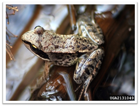 Missouri-River-Hills-COA-Wood-Frog-Picture